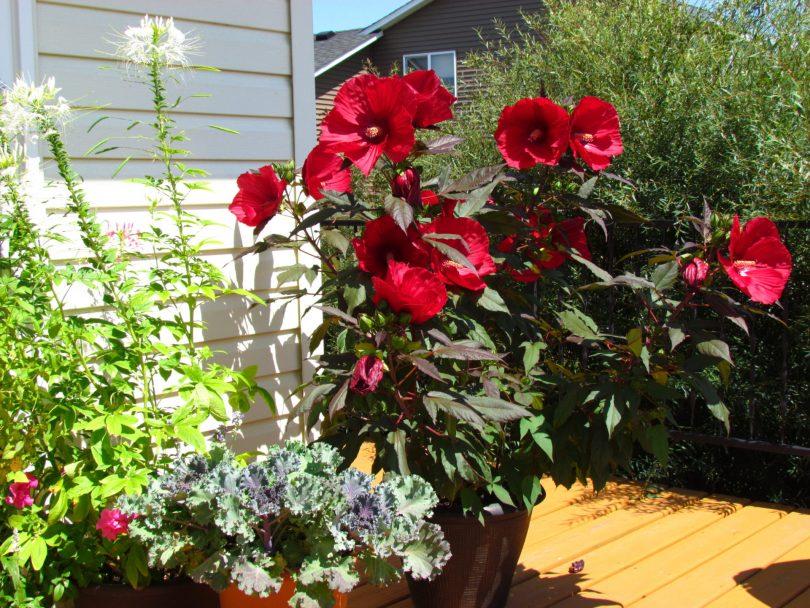Почему не цветёт роза в домашних условиях 114