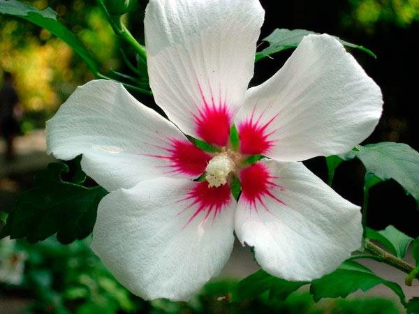 Китайская роза или гибискус: причины отсутствия цветения и как заставить цвести