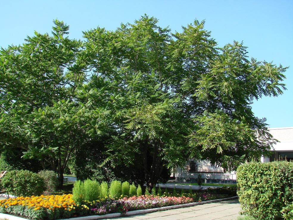 Орех маньчжурский: фото, посадка, уход