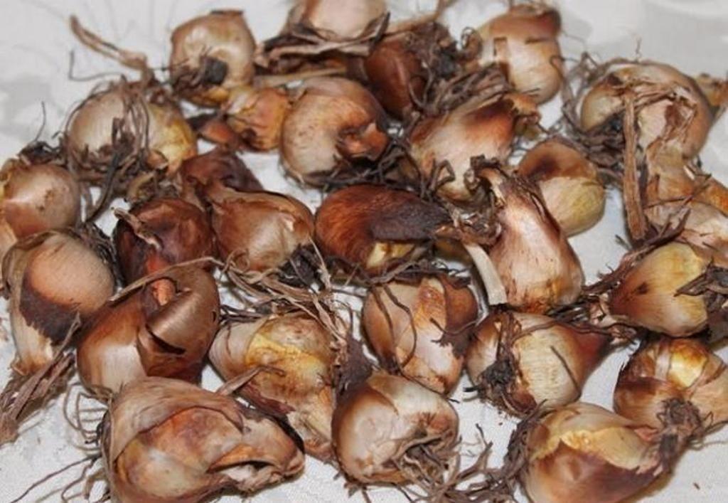 Тигридия: сорта, посадка и уход в открытом грунте