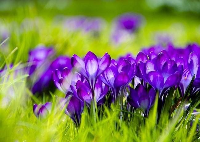 Первоцветы - какие бывают?