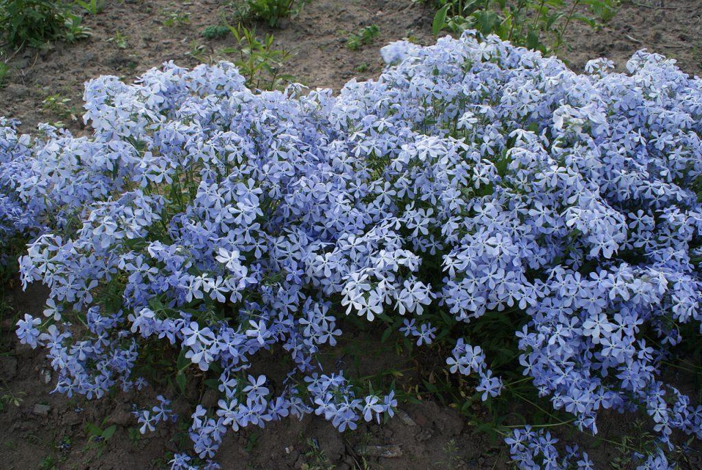 Флокс многолетний: нюансы выращивания из семян, посадки и ухода