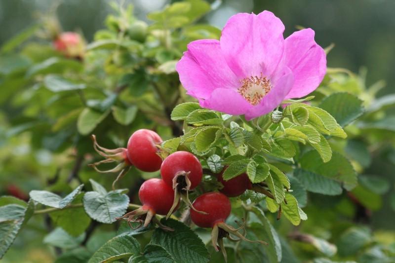 Роза морщинистая посадка и уход фото