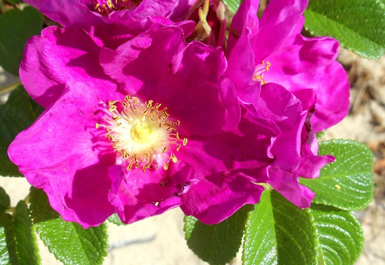 Роза морщинистая: сорта, фото, посадка, уход