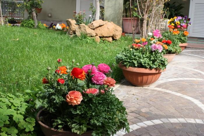 """Лютик садовый (ранункулюс) - как выращивать """"капризулю"""""""