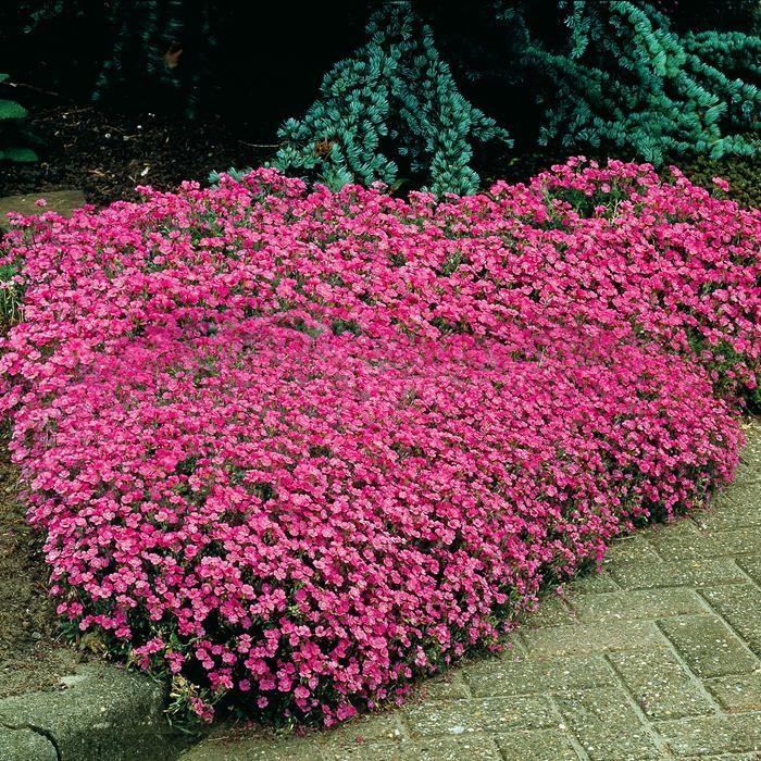 Цветущие ковры из мыльнянки базиликолистной или лекарственной