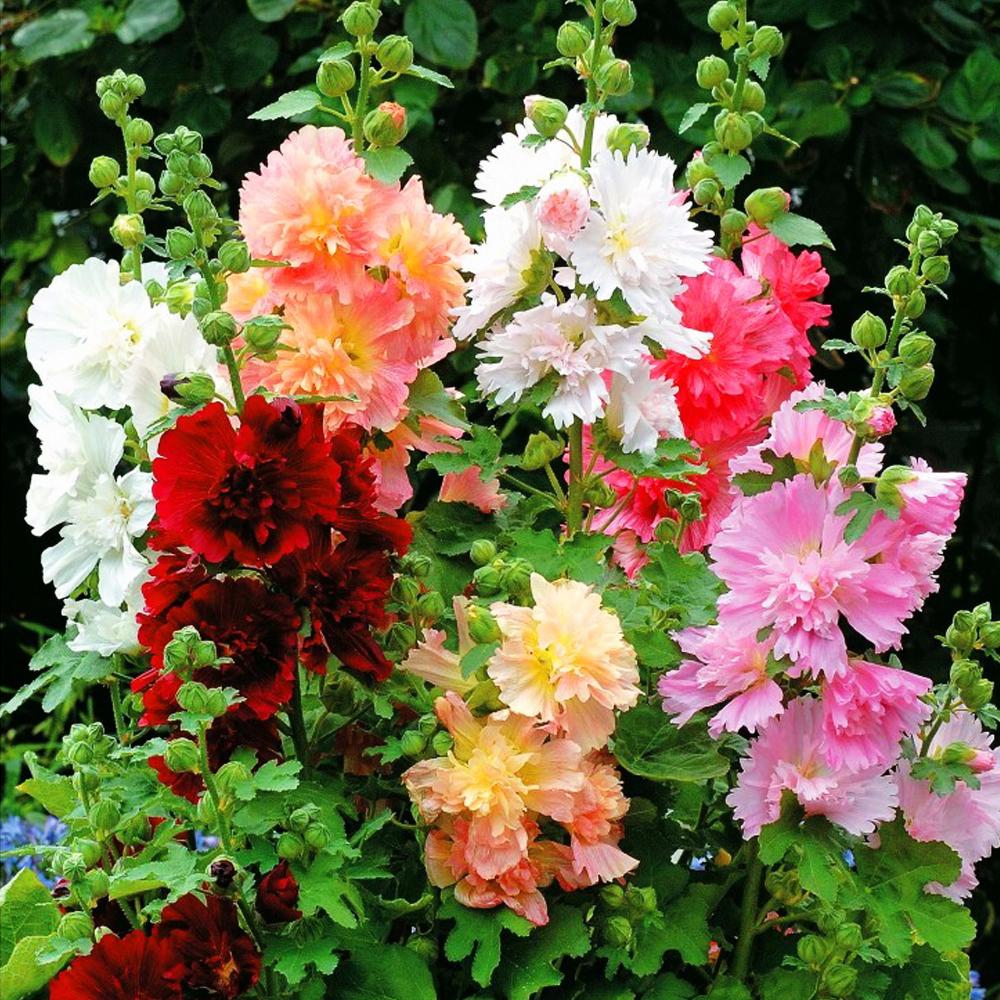 Когда сажать цветы гвоздики