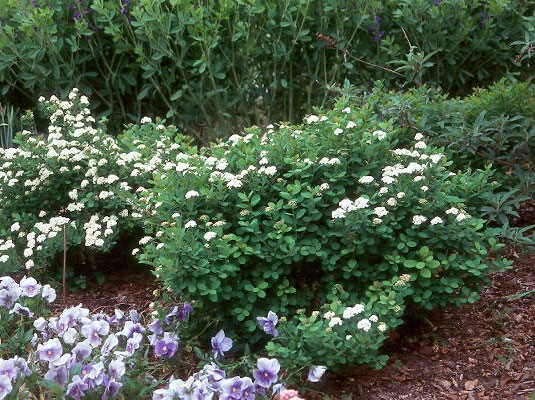 Спирея березолистная: сорта, посадка, уход и применение в ландшафтном дизайне