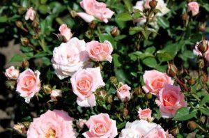 Выращивание розы спрей 63