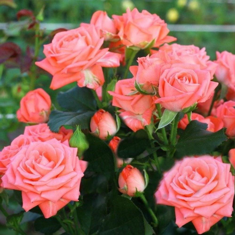 Розовые брызги или розы спрей: описание, сорта, посадка и уход