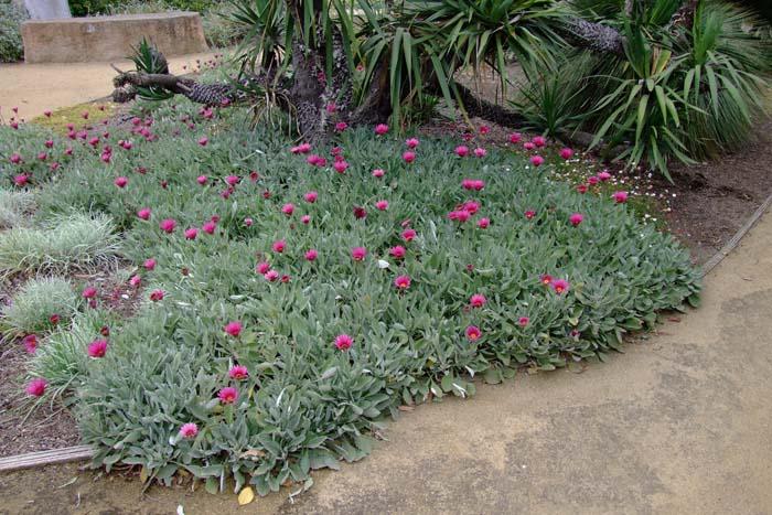 Медвежье ухо или арктотис - южноафриканская ромашка в вашем саду