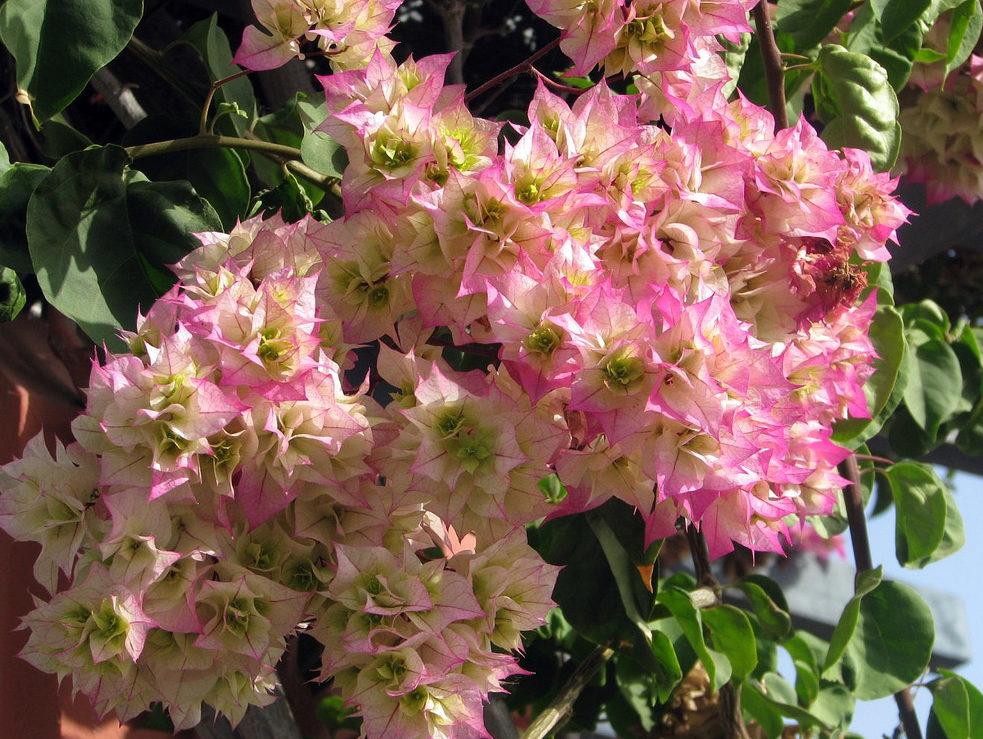 Бугенвиллея - как вырастить бразильскую красавицу в российском саду или квартире