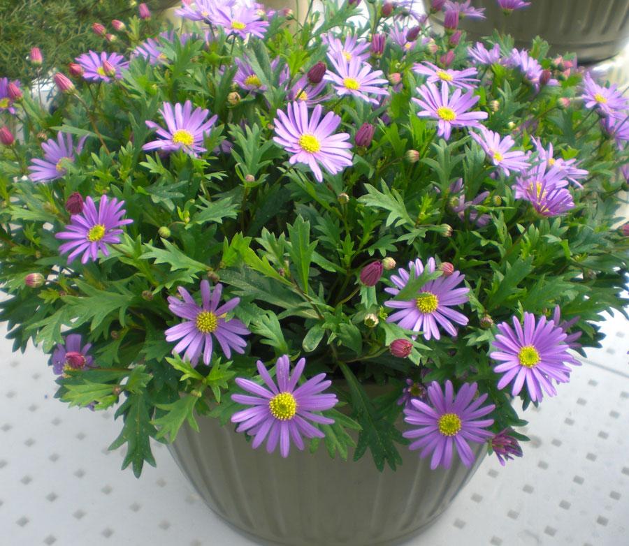 Брахикома иберисолистная - грациозное растение для сада и контейнера