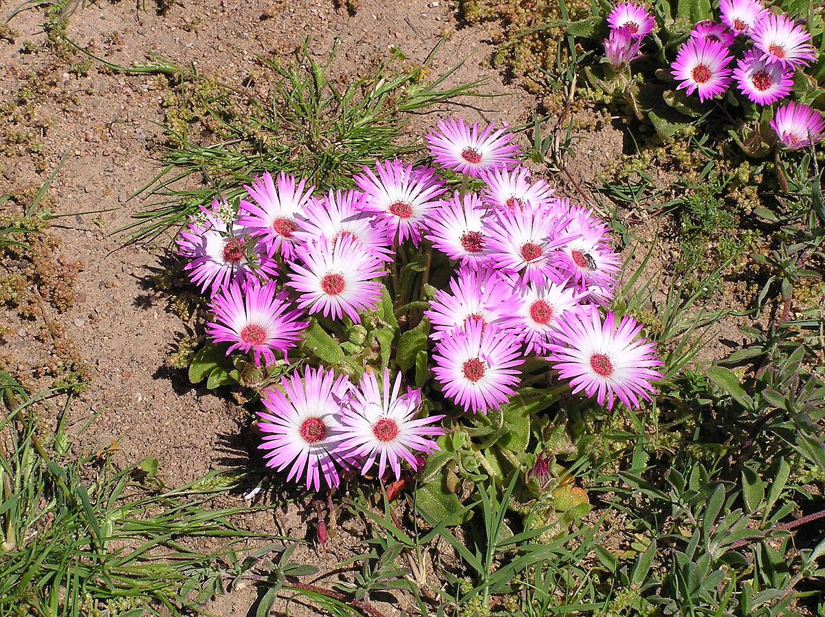 Фантастический доротеантус - выращивание из семян, посадка и уход