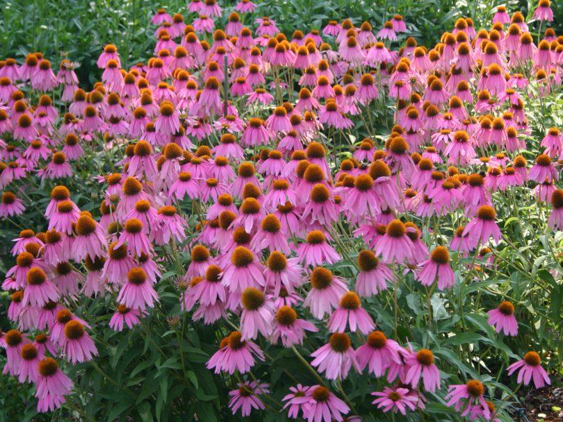 Эхинацея цветок выращивание