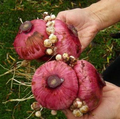 Гладиолусы: агротехника для открытого грунта