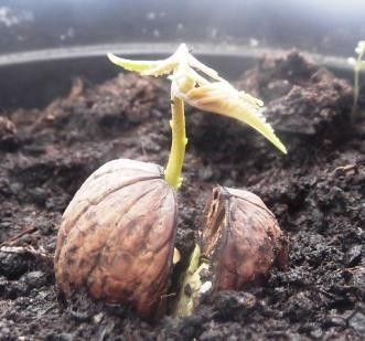 Как вырастить ореховое дерево из грецкого ореха
