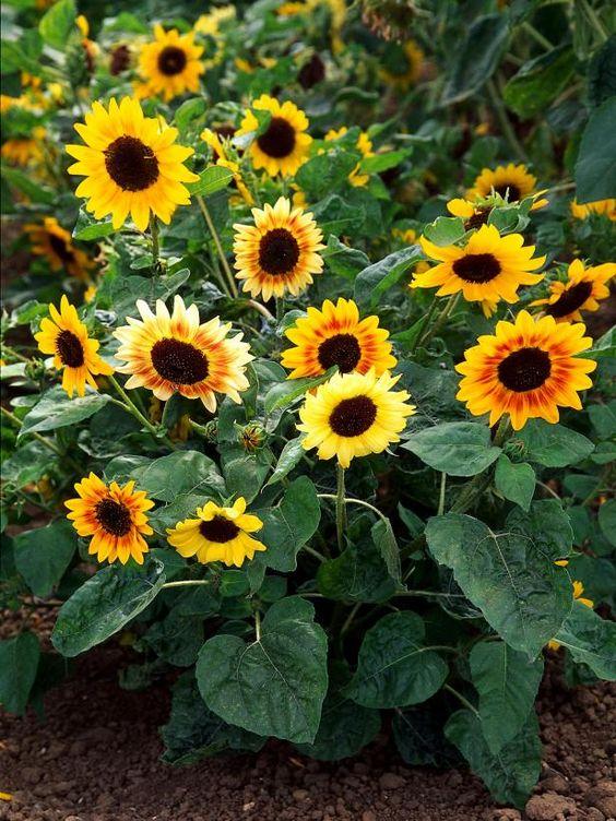 Самый солнечный цветок  - декоративный подсолнечник: виды, сорта, выращивание и уход