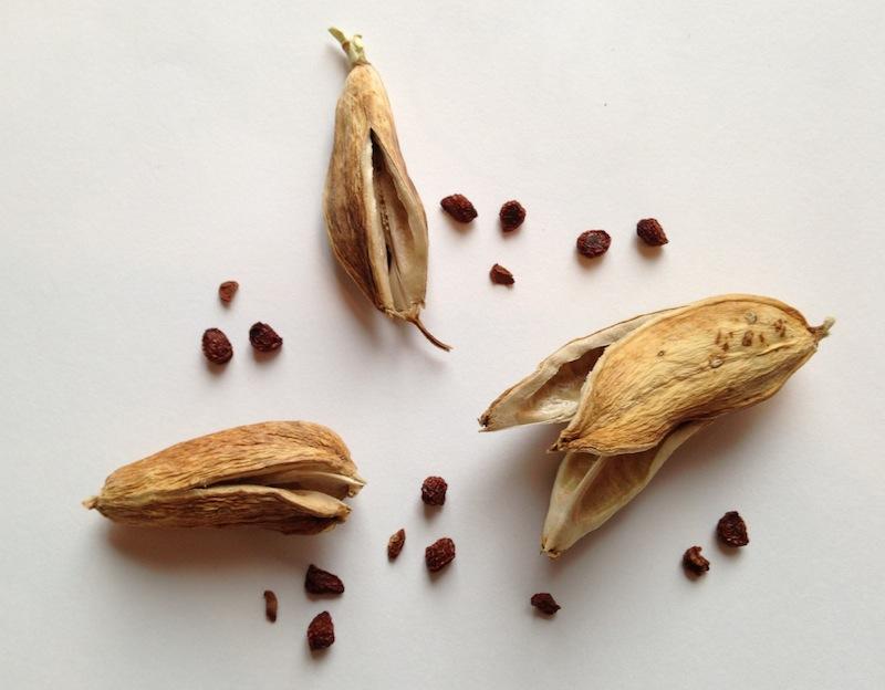 Ирисы выращивание семена 90