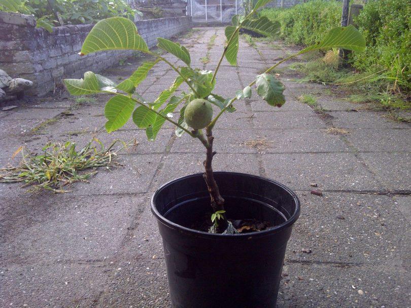 Выращивание на даче фундука 93