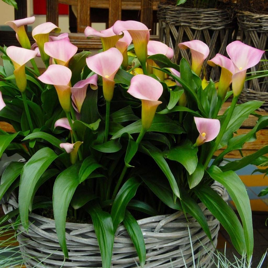 Цветок калла фото