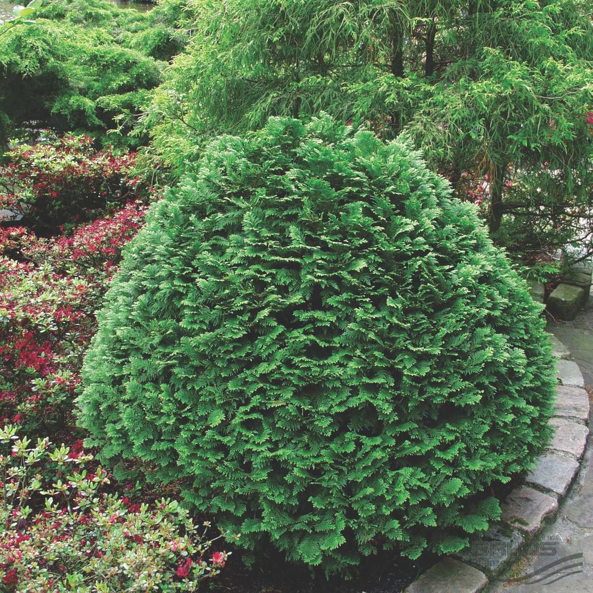 Кипарисовик Лавсона: сорта, посадка, уход и применение в ландшафтном дизайне