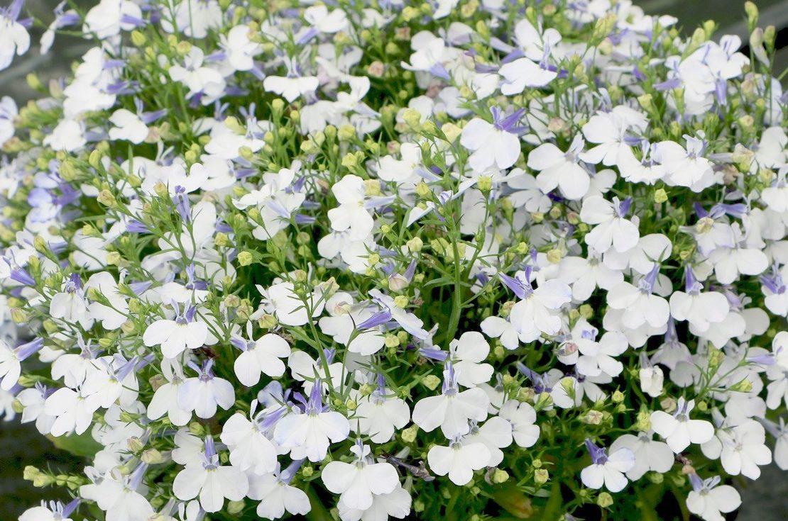 Лобелия фото выращивание 25