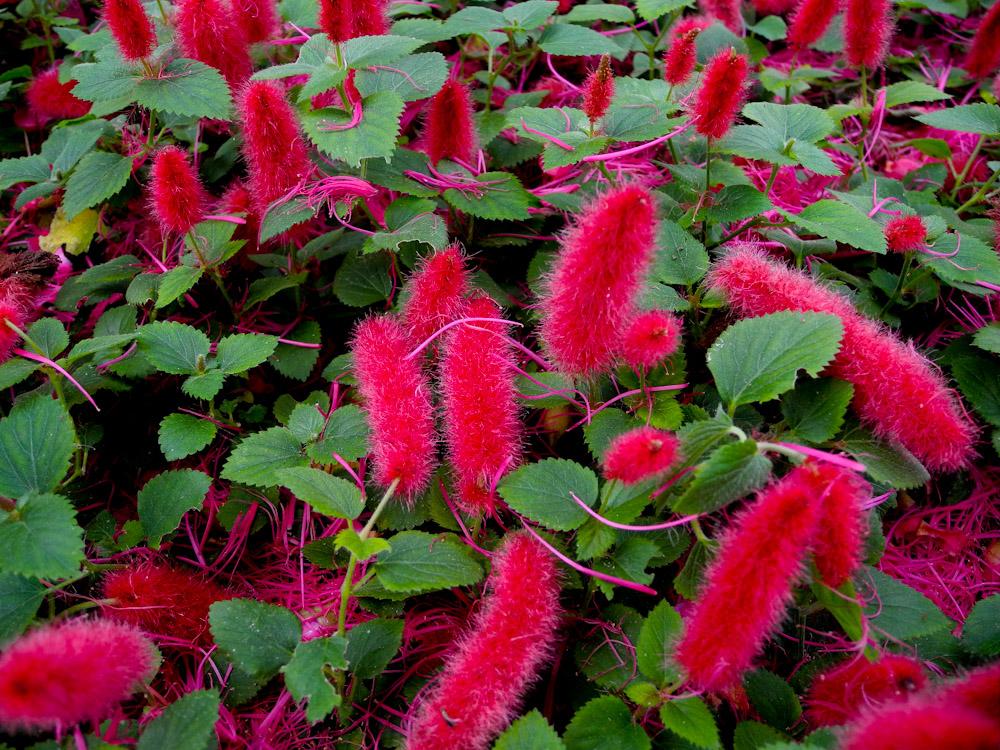 Лисохвост или акалифа: кто есть кто, фото растений, выращивание, уход