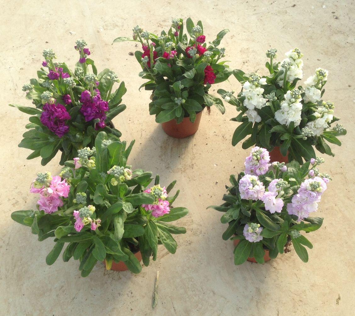 Левкой: фото цветов, выращивание из семян, посадка, уход