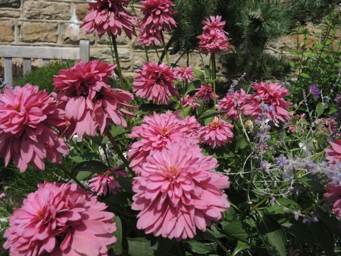 Универсальный цветок эхинацея - уместен в любом саду