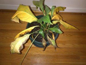 Почему не цветет спатифиллум и что делать