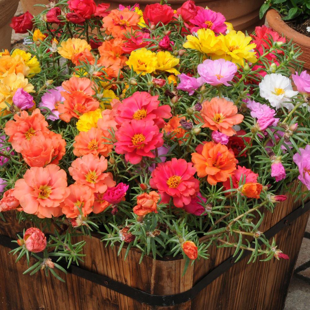 Портулак: сорта, выращивание из семян, уход и применение в ландшафтном дизайне