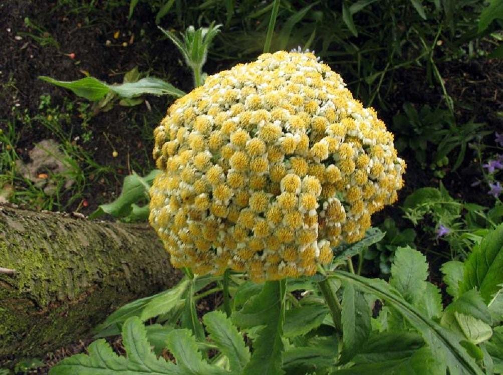 """Еще одно растение в коллекцию """"ромашек"""" - пиретрум"""