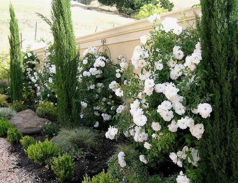 Розы и туи - как обыграть сочетание роз и хвойников