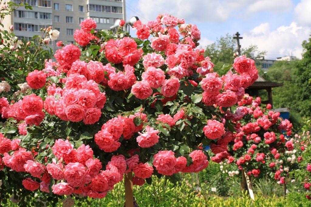 Садовые розы: проблемы с цветением