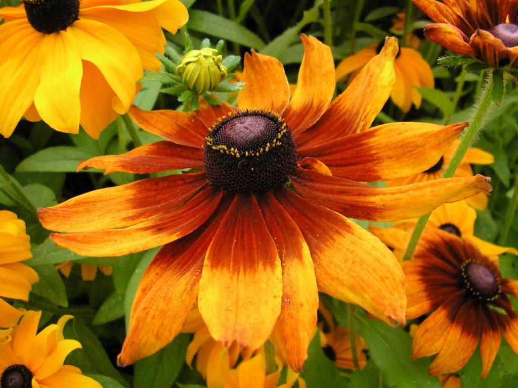 Черноглазая Сюзанна рудбекия: сорта, выращивание из семян, посадка и уход
