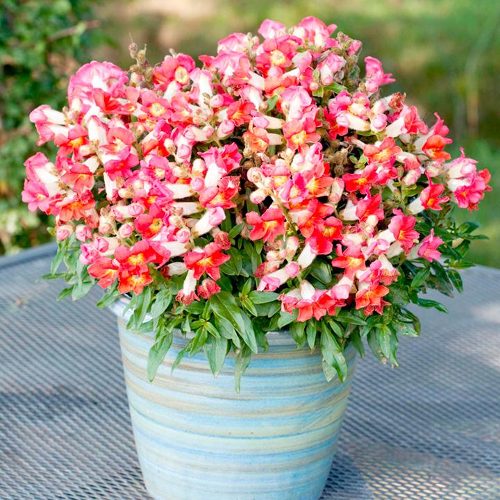 Цветы львиный зев посадка и уход фото