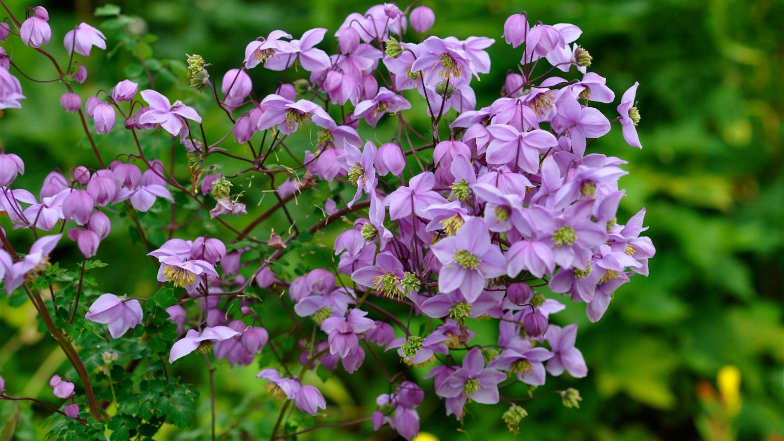 Изящный и редкий цветок для сада - василистник