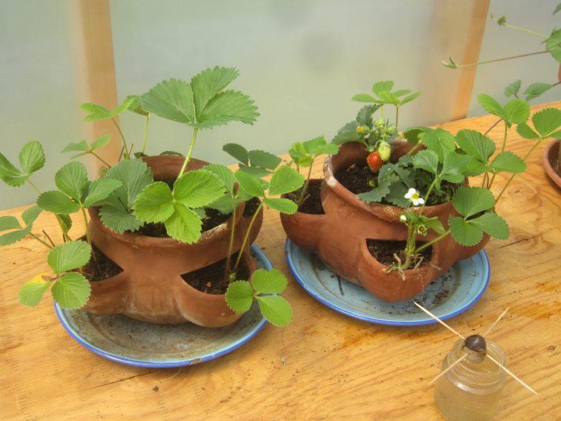 Клубника выращивание дома в квартире 96
