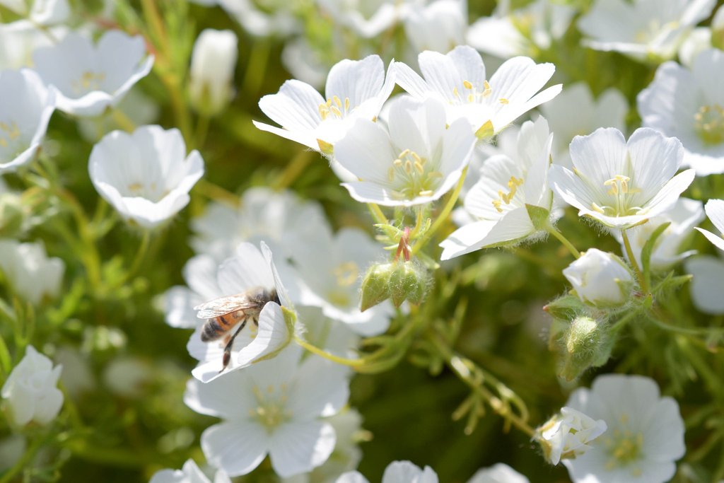Знакомьтесь – лимнатнтес, еще один цветок в коллекцию неприхотливых летников