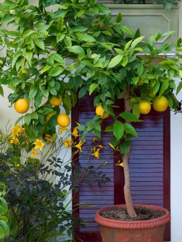 Как вырастить дома апельсин из косточки
