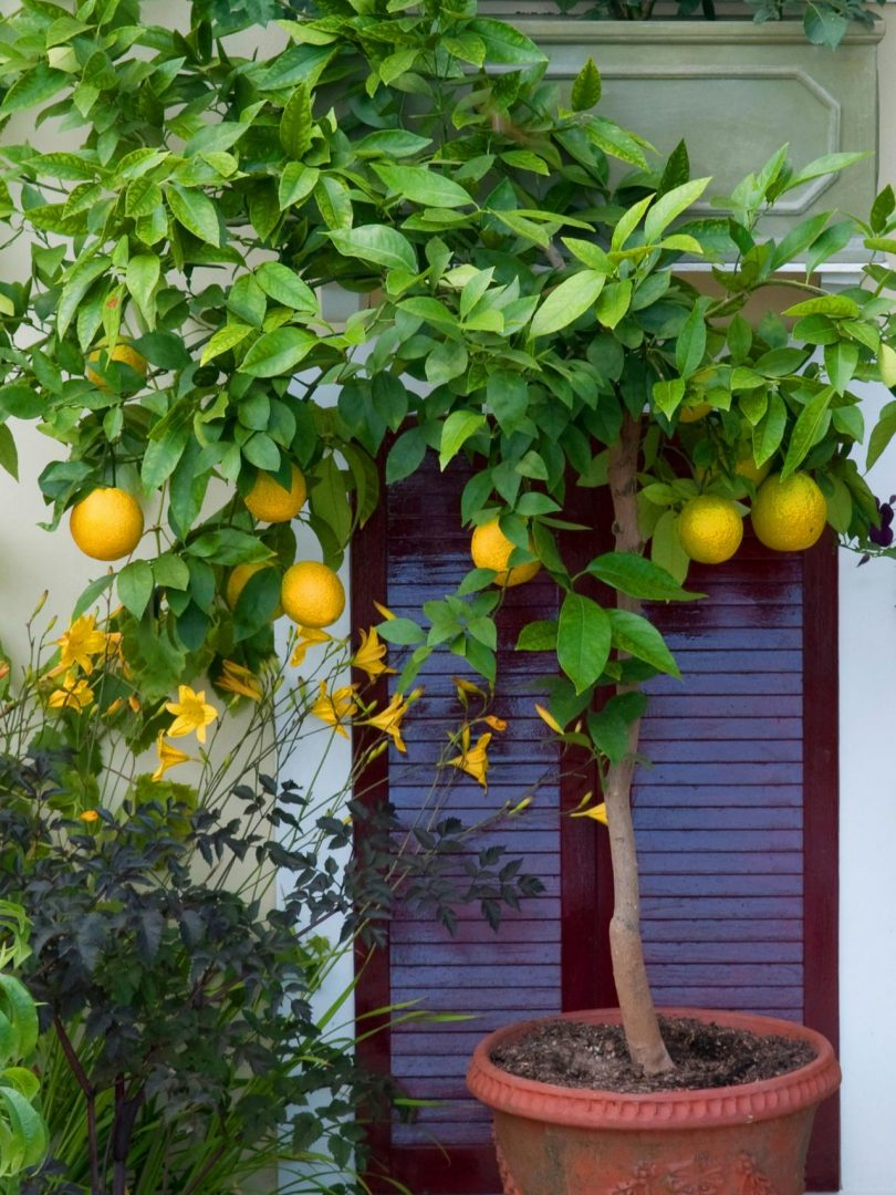 Как вырастить апельсины в домашних условиях из косточки 908