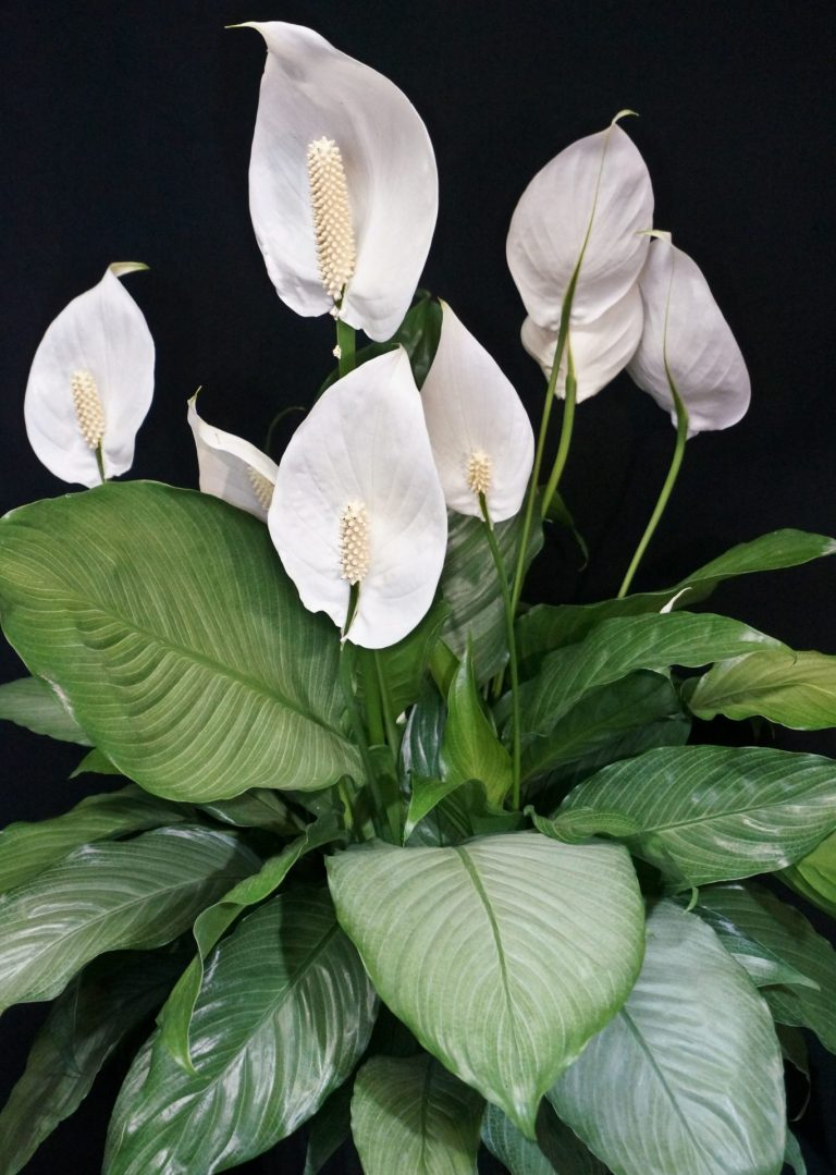 Женское счастье цветок разновидности фото и названия