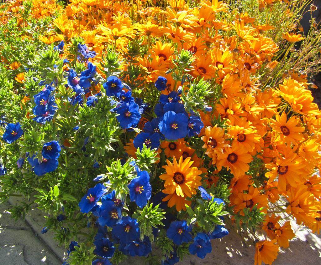 Анагаллис Монелли и Урсиния многоцветковая, фото Kaveh Maguire.