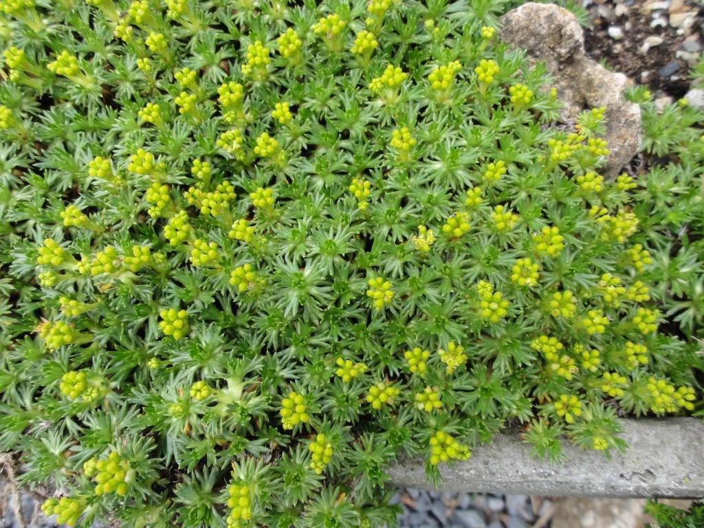 Azorella trifurcata 'Nana'