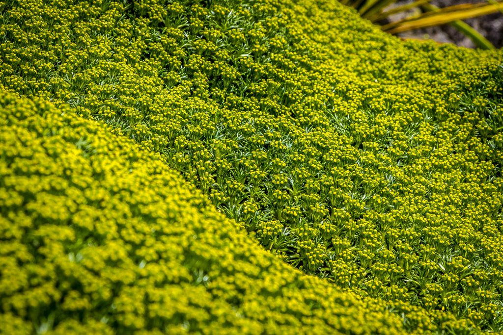 Зеленые реки из азореллы трехвильчатой