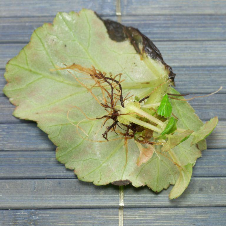 Begonia hiemalis размножение листом