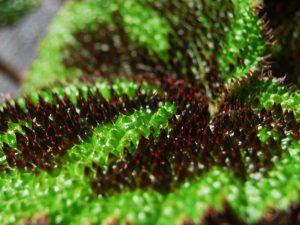 Бегония Мэсона: размножение листом, проблемы в уходе