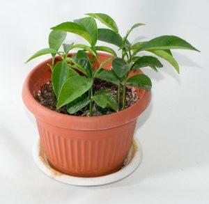 Выращивание мандаринового деревца из косточки дома