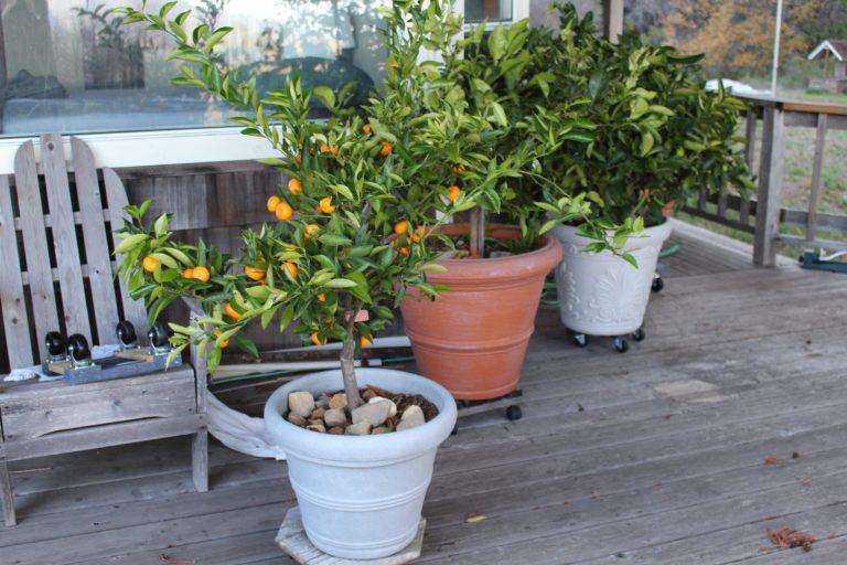 Выращивание апельсина в домашних условиях из косточки 604